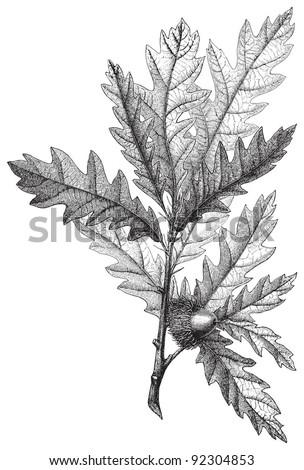 Turkey oak  (Quercus cerris) / vintage illustration from Meyers Konversations-Lexikon 1897 - stock vector
