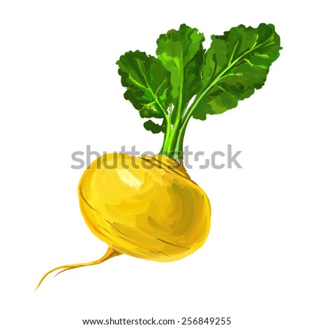 Turnip vector illustration  hand drawn  painted watercolor - stock vector