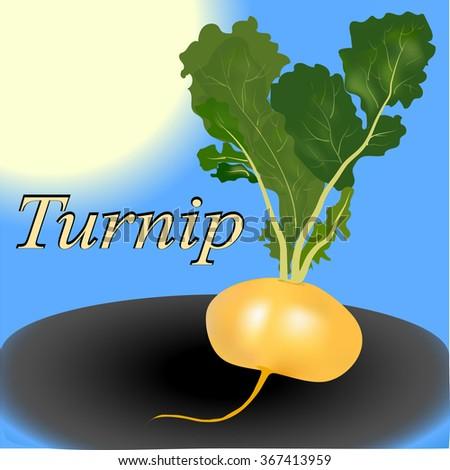 Turnip vegetable vector - stock vector