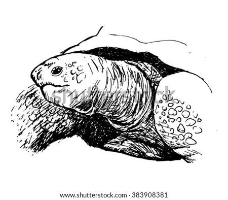 turtle sketch - vector - stock vector