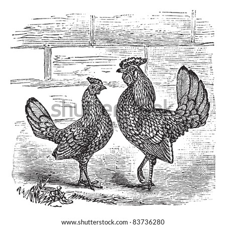 Two Bantam chicken, vintage engraving. Old engraved illustration of Two Bantam chicken. Trousset encyclopedia (1886 - 1891). - stock vector