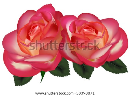 Two beautiful tea roses on a white background. Vector. - stock vector