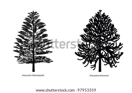 Two Different Araucaria Species Illustration - stock vector