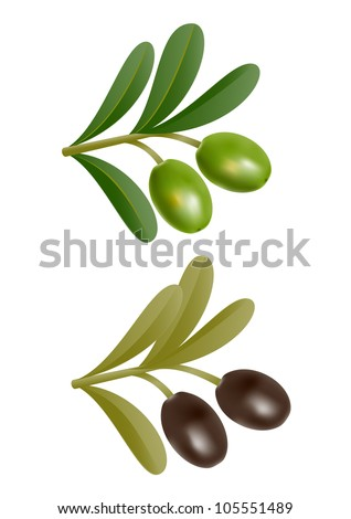 Two green and black olives on branch with leaves