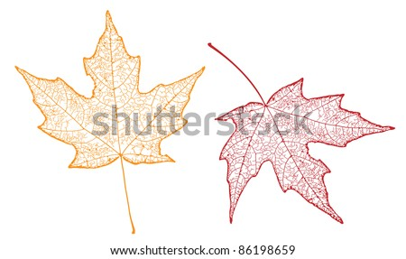 two maple  leaves showing veins