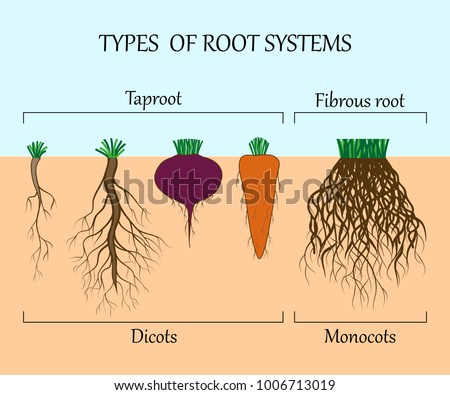 root system root of a dicotyledonous Plants having two cotyledons in its seeds are called a dicotyledonous and monocotyledonous biology botany monocot plants have an adventitious root system.