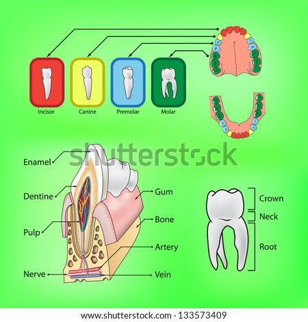 Types of teeth and external and internal structure of tooth in vector format - stock vector
