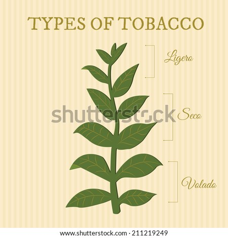 types of tobacco depending on position of the leaves on the plant - stock vector