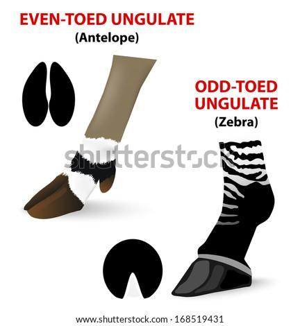 Ungulate mammals can h...