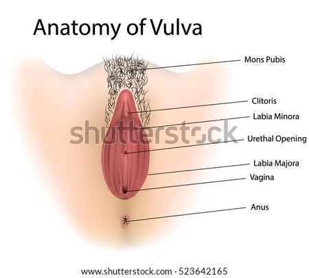 Vagina medical illustration