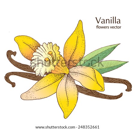 Vanilla Pods And Flower  - stock vector