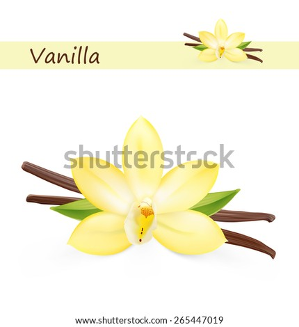 Vanilla pods and flower isolated on white background. Vector illustration  - stock vector