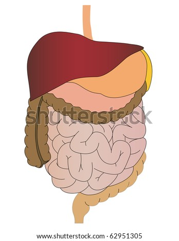 Vector a stomach of a gut a liver of the person - stock vector