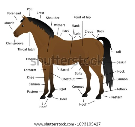 Vector Anatomy Bay Horse Isolated On Stock Vector 1093105427