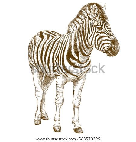Zebra Sketch Stock Images Royalty Free Images & Vectors Shutterstock