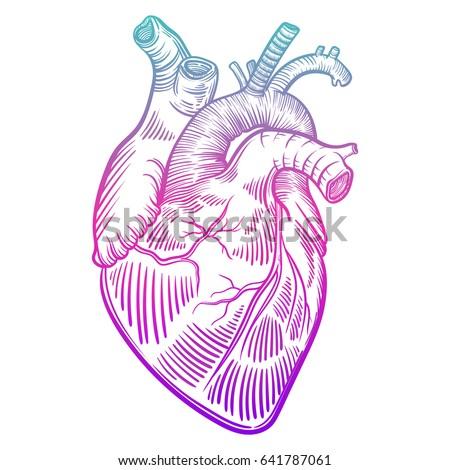 vector illustration human heart anatomy drawing stock vector, Muscles