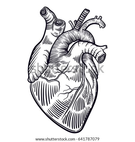 ink human heart illustration stock illustration 407698045, Muscles