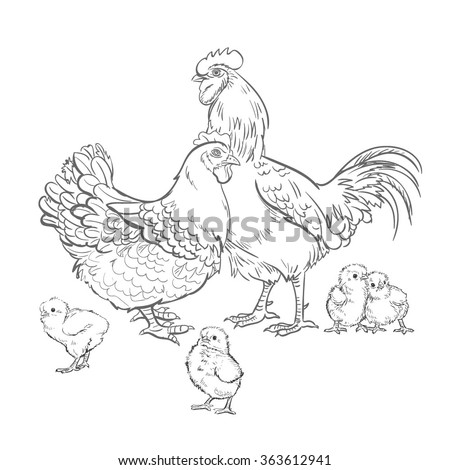 Vector Black and White Sketch Chicken Rooster Illustration - stock vector