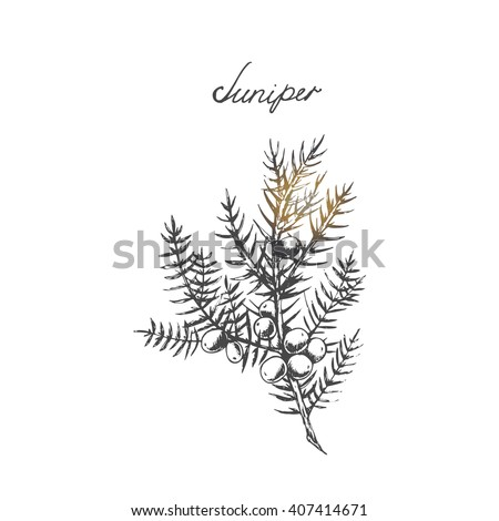 Vector branch of Juniper with berries. Hand drawn herbal illustration in sketch style. Juniper is a medical and food herbal ingredient.  - stock vector