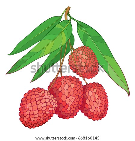 Vector branch with outline red Chinese Lychee or Litchi fruit and green leaf isolated on white background. Perennial subtropical tree in contour style for summer design and juicy fresh menu.
