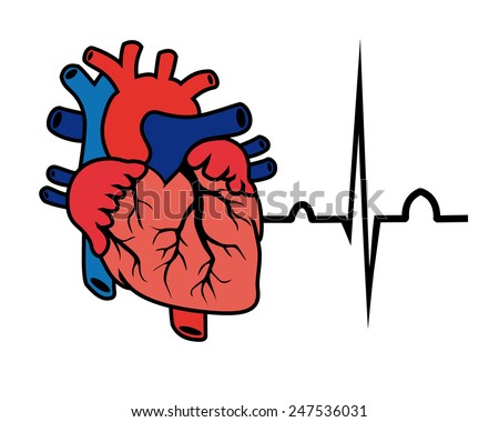 vector cardiogram and heart on a white background - stock vector