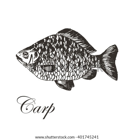 vector carp hand drawn illustration