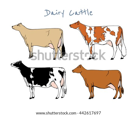 Vector Chart Of Hand Drawn Dairy Cattle Breeds Beautiful Ink Drawing Cows