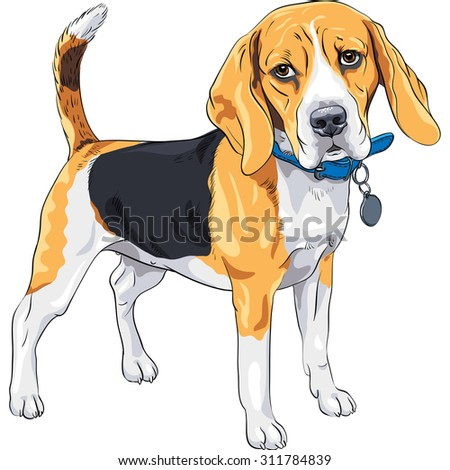 vector color sketch serious dog Beagle breed standing with blue collar - stock vector
