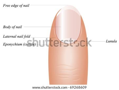 Vector Detailed Finger Anatomy On White Stock Vector 69268609