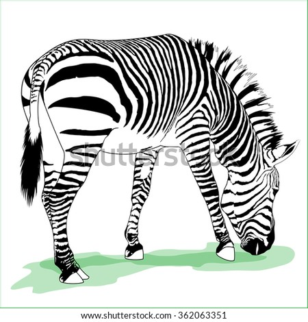 Vector detailed illustration of eating adult zebra  - stock vector
