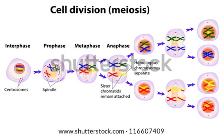 Vector diagram of the meiosis phases - stock vector