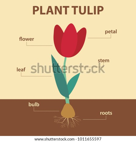 Vector Diagram Showing Parts Tulip Whole Stock Vector 1011655597