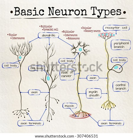 Vector drawing basic types neurons stock vector 307406531 shutterstock vector drawing basic types of neurons ccuart Images