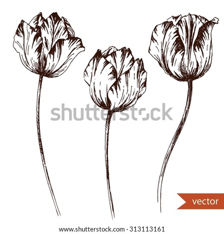 vector drawing  pen and ink drawing, tulip flowers, isolated monochrome image, vintage, retro engraving