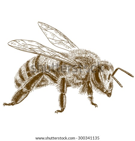 Vector engraving antique illustration of  honey bee isolated on white background - stock vector