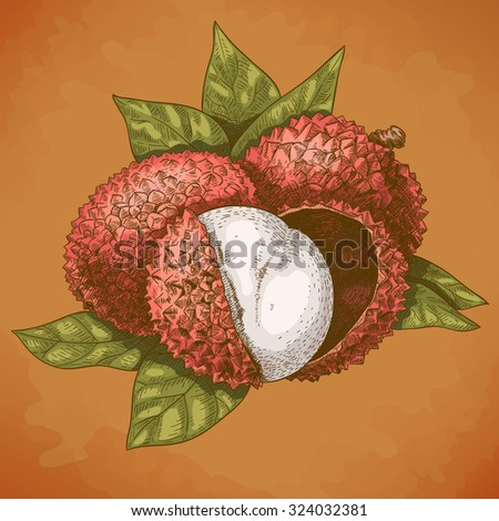 Vector engraving antique illustration of lychee in retro style