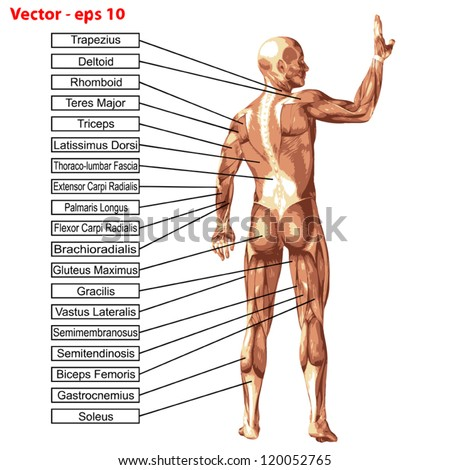 Vector eps concept or conceptual 3D human anatomy and muscle isolated on white background as a metaphor to body,tendon,spine,fit,builder,strong,biological,skinless, shape,posture,health or medical - stock vector