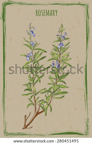 vector - Fresh Rosemary in vintage frame with grunge background. Fragrant Mediterranean herb, blue flowers, dark green, narrow leaves for cooking, medicine, Herbs de Provence.  - stock vector
