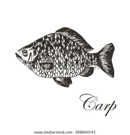 vector hand drawn carp illustration. seafood fish sketch drawin