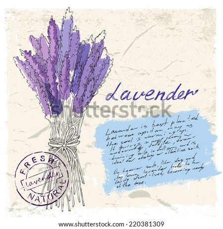 vector hand drawn illustration of lavender on paint background - stock vector
