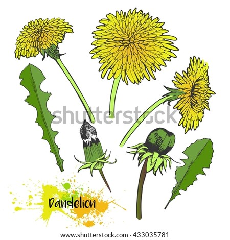 Vector hand drawn set of dandelion blossom. Summer medical plants in vibrant color. For medicine, cooking, gardening or decorating. - stock vector