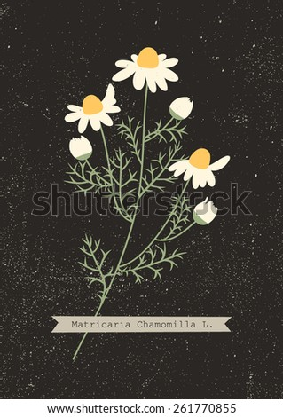 Vector herbarium of chamomile plant with Latin name (Matricaria Chamomilla) - stock vector