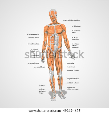 vector human body muscles anatomy sign stock vector 493194625, Muscles