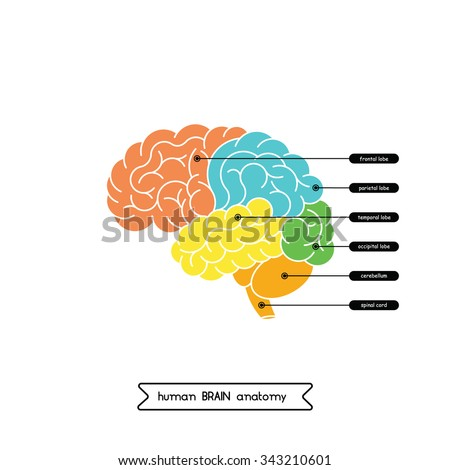 Vector human brain diagram.  Human brain diagram isolated on white background.  Human brain anatomy diagram. Vector human brain side view. Vector human brain in lineal flat style. - stock vector
