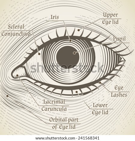 Vector human eye etching with captions. Cornea, iris and pupil. Name parts of the eye for books, encyclopedias - stock vector