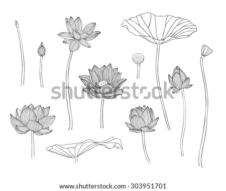 Vector illustration. Engraving hand drawn lotus flowers - stock vector