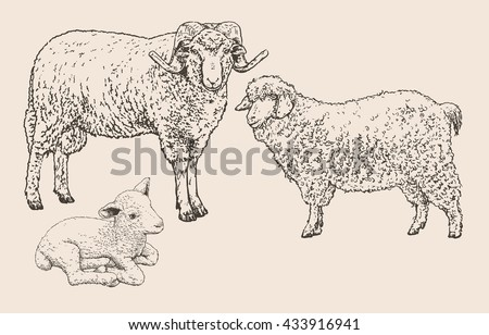 Vector illustration, hand drawn realistic sketch of 3 sheep in set - stock vector