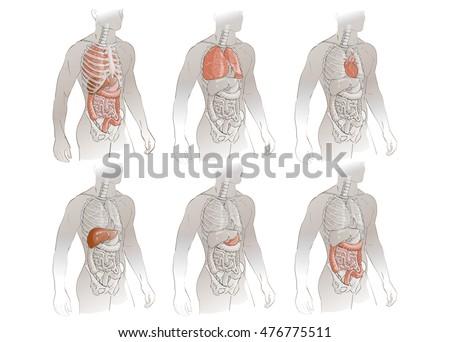 Vector Illustration Human Body Anatomy Medical Stock Vector ...