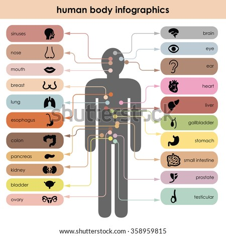 vector illustration / human body / organs icons - stock vector
