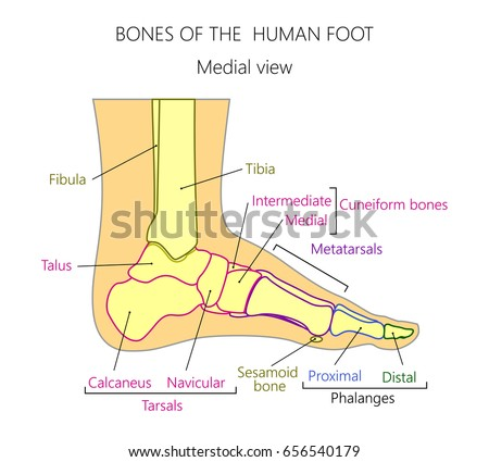 Side Foot Bone Diagram Wiring Library